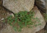 Waldsauerklee, Oxalis acetosella auf Polylith